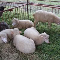 Ovce na veletrhu Agro Bio Bieszczady