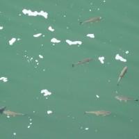 Ryby v přehradě Solina