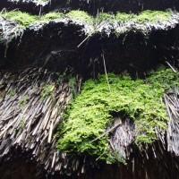 Skanzen v Sanoku - mech na doškách
